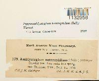 Hygroamblystegium noterophilum image