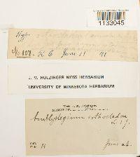Hygroamblystegium tenax var. tenax image