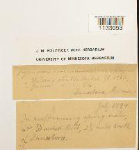 Hygroamblystegium tenax var. spinifolium image
