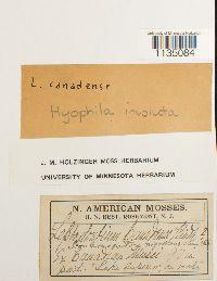 Hyophila involuta image