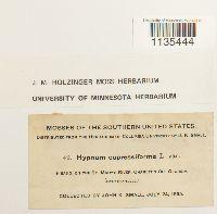 Hypnum cupressiforme image