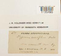Hypnum curvifolium image