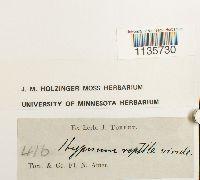 Hypnum pallescens image