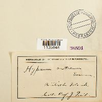 Image of Hygrohypnum arcticum