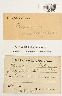 Isopterygiopsis muelleriana image