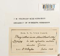 Herzogiella striatella image