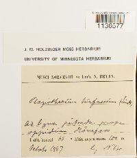 Herzogiella turfacea image