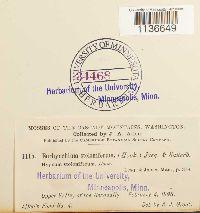 Isothecium myosuroides image