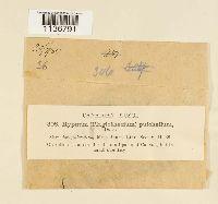 Isopterygiella pulchella image