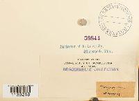 Leptobryum pyriforme image