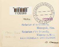 Leptodictyum riparium image