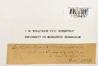 Leptodontium viticulosoides image