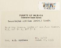 Leucobryum albidum image