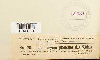 Leucobryum glaucum image
