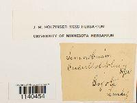 Image of Platyhypnum cochleariifolium