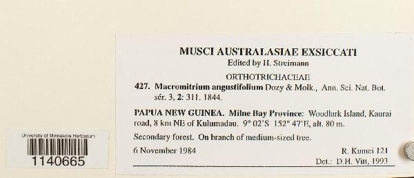 Macromitrium angustifolium image