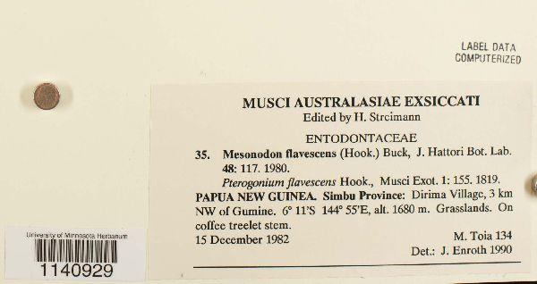 Mesonodon flavescens image