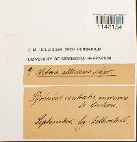 Pohlia wahlenbergii image