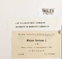Mnium hornum image