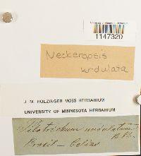 Neckeropsis undulata image