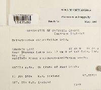 Orthotrichum obtusifolium image