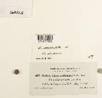 Orthotrichum stellatum image