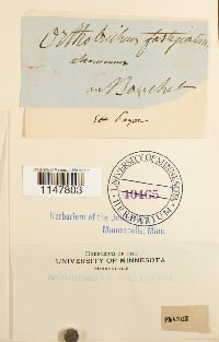Lewinskya affinis image