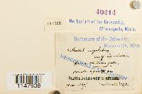 Orthotrichum cupulatum image