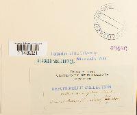 Orthotrichum pumilum image