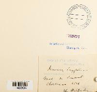 Paraleucobryum longifolium image