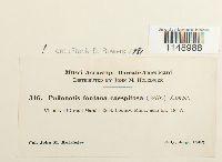 Philonotis fontana var. caespitosa image