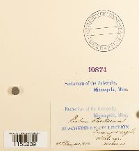 Phascum floerkeanum image