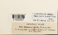 Grimmia caespiticia image
