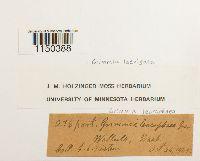 Grimmia laevigata image