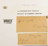 Grimmia ovalis image