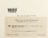Grimmia sessitana image
