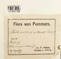 Philonotis fontana image