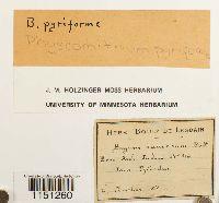 Physcomitrium pyriforme image