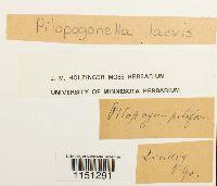 Pilopogonella laevis image