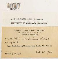Plagiomnium rostratum image