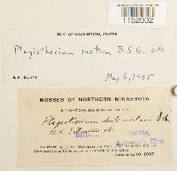 Plagiothecium laetum image