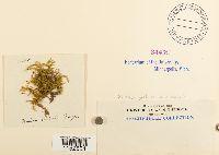 Plasteurhynchium meridionale image