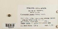 Platygyrium repens image