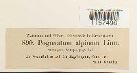 Polytrichastrum alpinum var. alpinum image