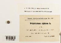 Polytrichastrum alpinum image