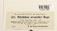 Polytrichastrum sexangulare image