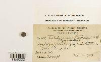 Pseudocrossidium aureum image