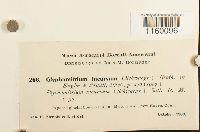 Ptychomitrium incurvum image