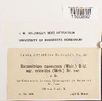 Niphotrichum ericoides image