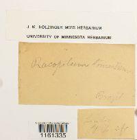 Racopilum tomentosum image